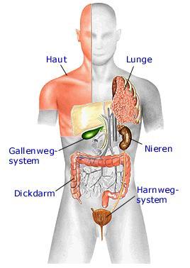mensch anatomie bauch